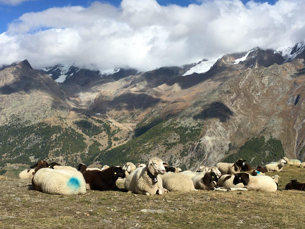 Schafe oberhalb von Saas-Fee