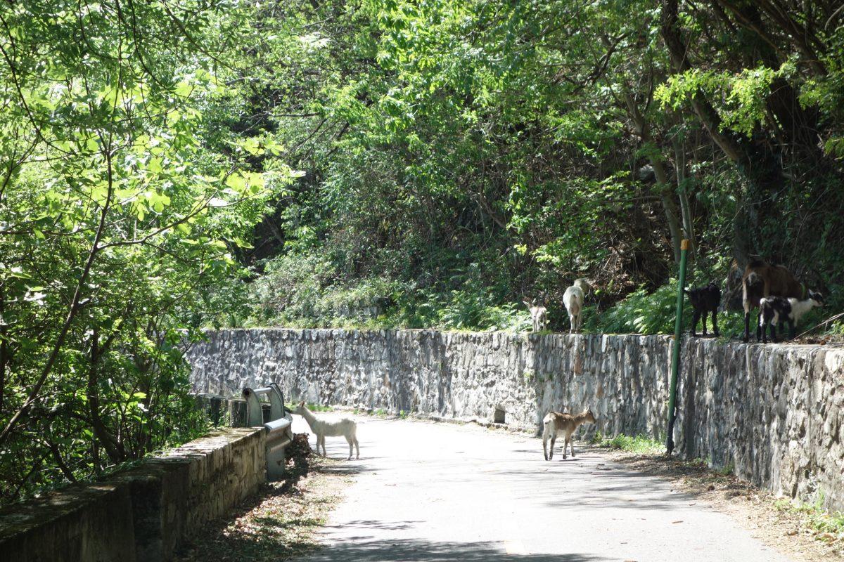 Ziegen auf dem Radweg am Comersee