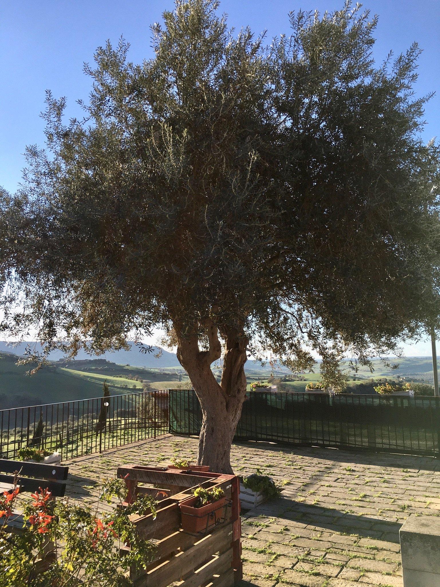 Olivenbaum beim Agriturismus Giannavi